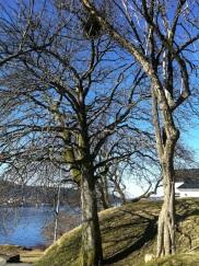 Korpetrær med reir