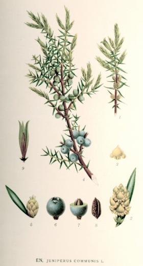 Einer (Juniperus communis). Reproduksjon av et maleri av den svenske botanisten C. A. M. Lindman (1856–1928). (Fra wikipedia, fritt)