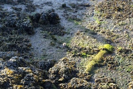 En måkeunge på stranden. (Foto: May Lis Ruus)